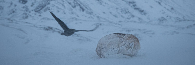 Zwierzeta na Grenlandii